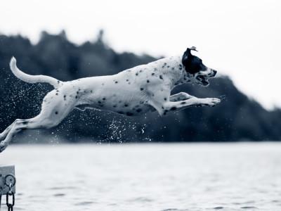 Hund hoppar från brygga badar