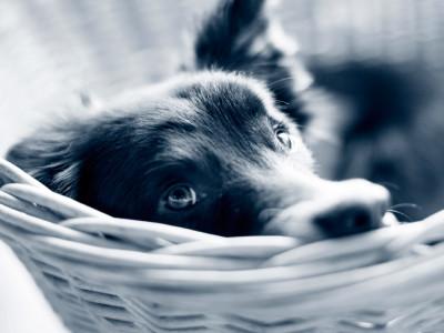 Hund i korg