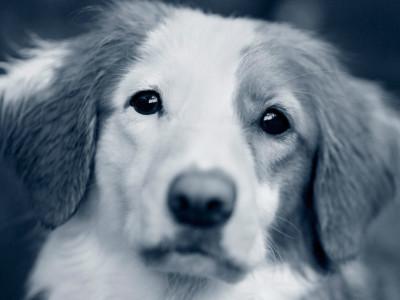 Tollare hund