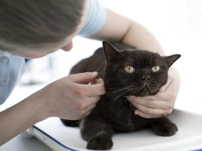 Dierenarts onderzoekt kat in behandelkamer