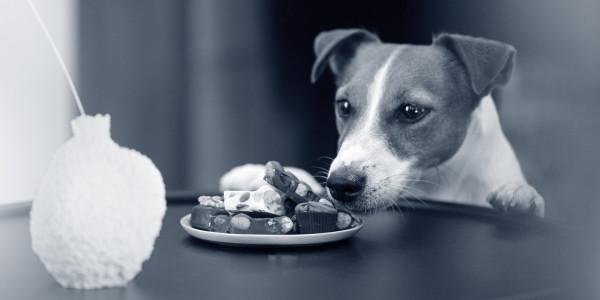 hond chocola