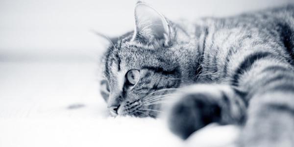 Katte og coronavirus/COVID19