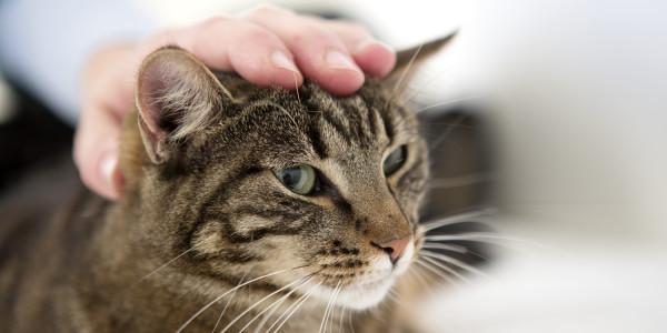 Kattenziekte gesignaleerd in Nederland