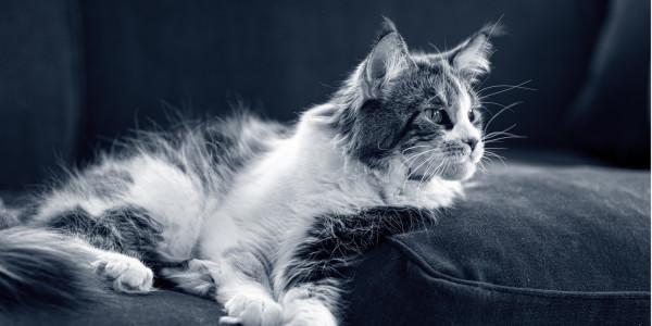 oude kat op de bank