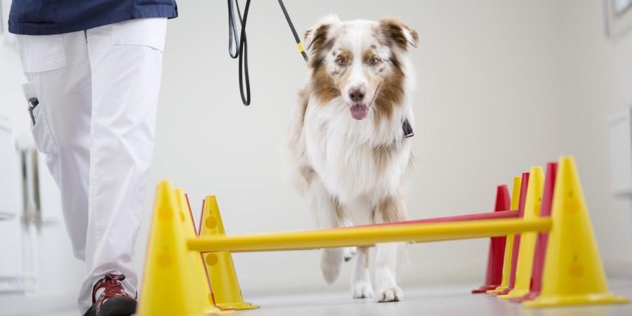 Hond volgt parcours in kliniek