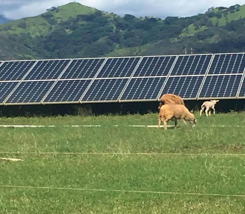 solar panel and cattle