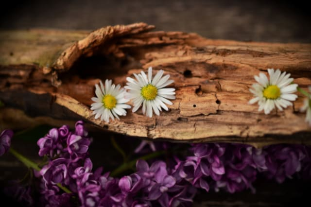 Fotographie eines verwitterten Holzstücks mit Gänseblümchen.