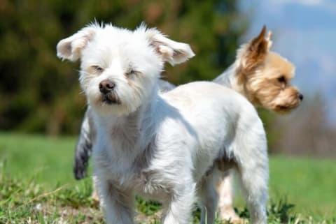 Fotographie zweier kleiner Hunde auf einer grünen Wiese.