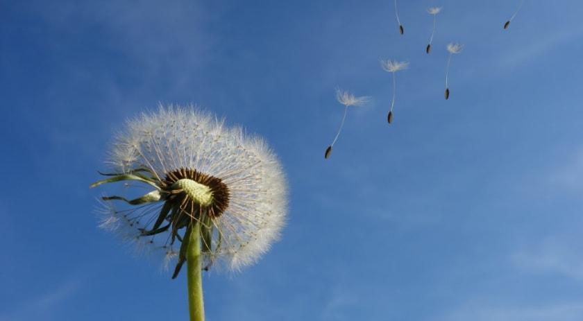 Pusteblume vor blauem Himmel