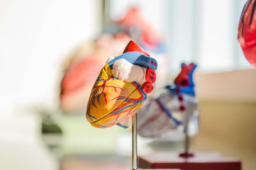 anatomisches herz als symbol für eine organspende
