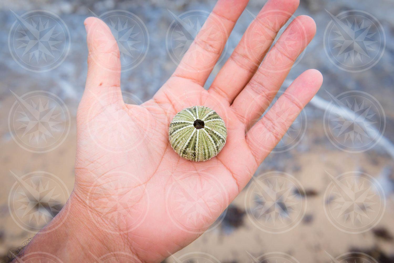 Sea urchin skeleton in man's hand