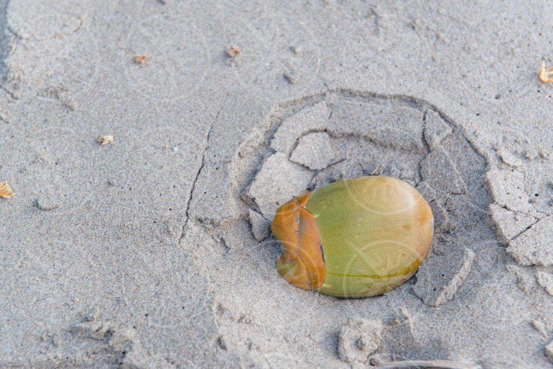 Small coconut coco in the sand