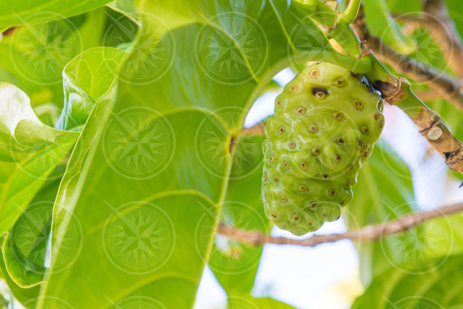 Noni fruit on a tree
