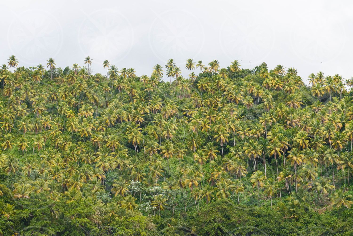 Coconut palm trees on a hill