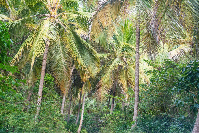 Path through coconut palm trees