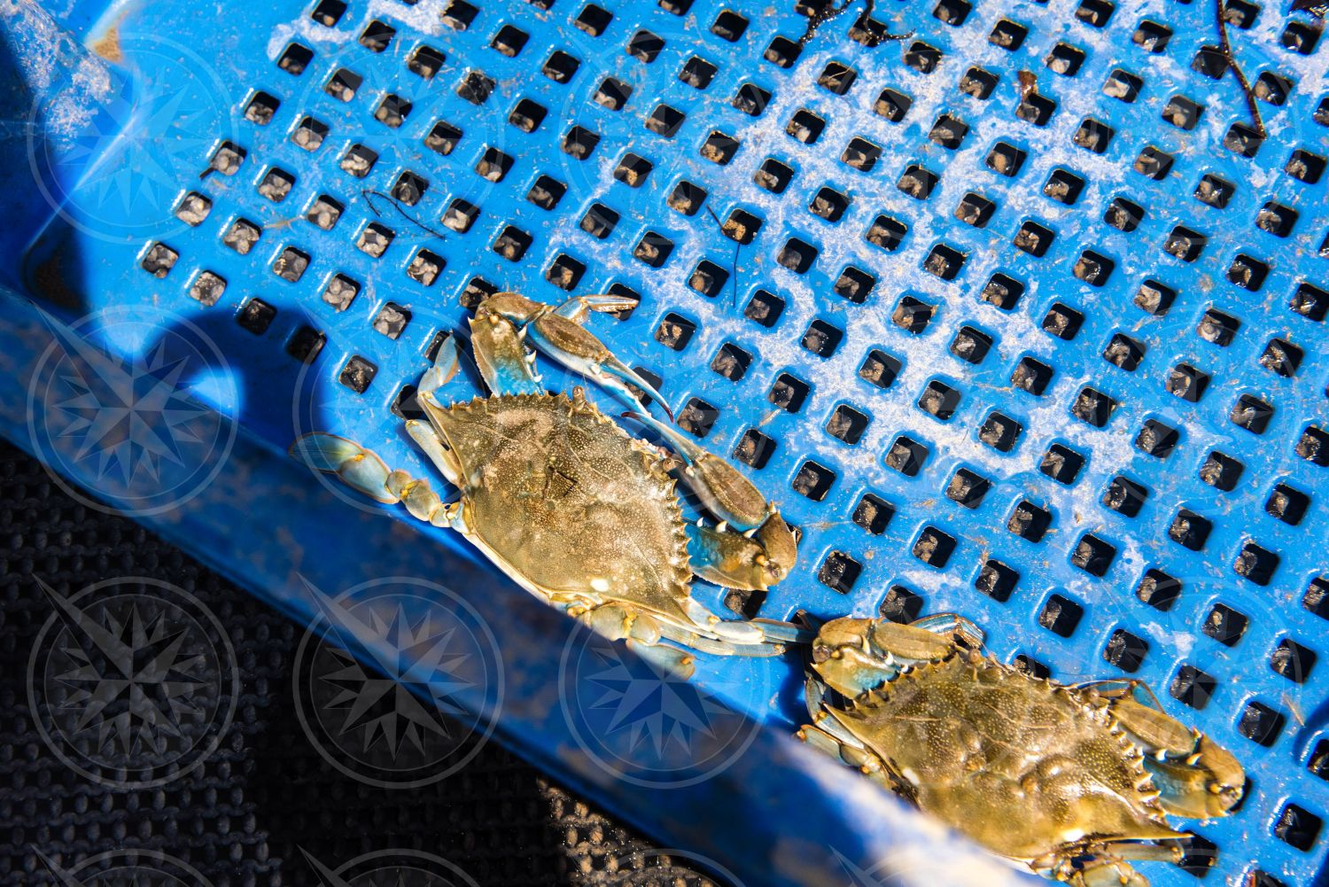 Crabs in a blue container
