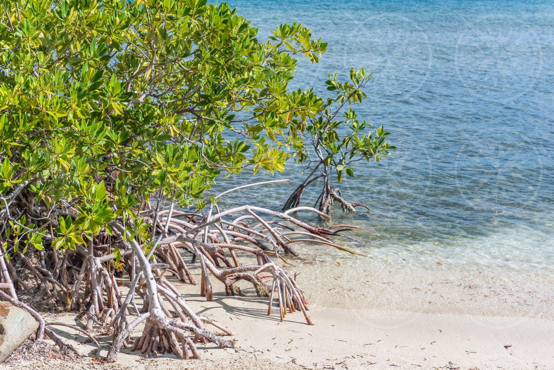 Mangroves on beach