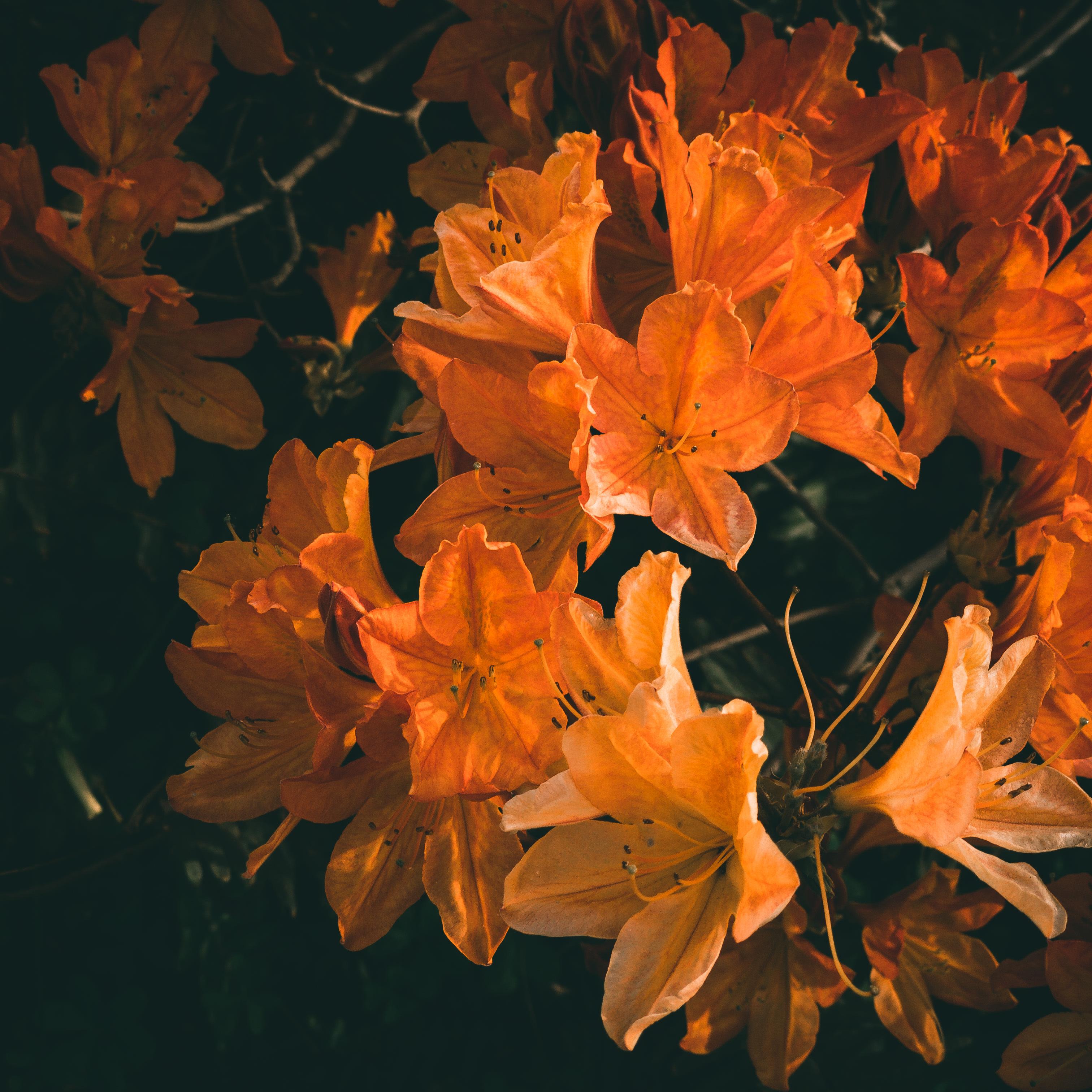 image of orangish azaleas