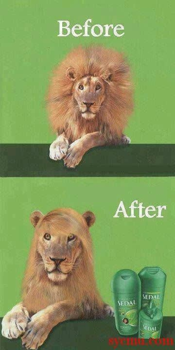 Funny lion using shampoo and straightening hair
