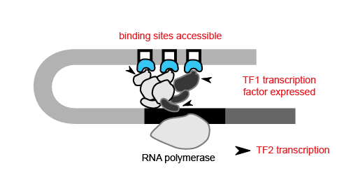 Building gene regulatory networks. Transcription of TF2 requires that TF1 (blue) be expressed, and that its binding sites at TF2 are accessible. CREDIT: Modified from Hupé et al., 2012 (CC BY 3.0).