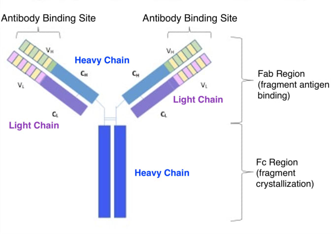 An antibody molecule, showing the heavy and light chain structures, and variable and constant regions. CREDIT: Modified from image by Immcarle70 - Own work. (CC BY-SA 4.0).