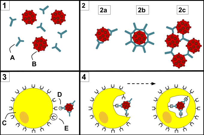 An overview of how antibodies interact with pathogens. 1) Antibodies (A) and pathogens (B) roaming freely in the blood. 2) The antibodies bind to pathogens and can do so in different formations such as opsonization (2a), neutralization (2b), and agglutination (2c). 3) A phagocyte (C) approaches the pathogen, and Fc region (D) of the antibody binds to one of the Fc receptors (E) on the phagocyte. 4) Phagocytosis occurs as the pathogen is ingested. CREDIT: Maher33. (CC BY-SA 4.0.)