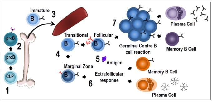 This diagram shows the steps of B-cell development and maturation, starting in the bone marrow (1 and 2), to the spleen (3), and subsequently to the periphery where the B cell encounters antigen and further differentiates into a memory or plasma B cell. CREDIT: JC Yam-Puc et al., Role of B-cell receptors for B-cell development and antigen-induced differentiation. (2018). (CC BY 4.0).