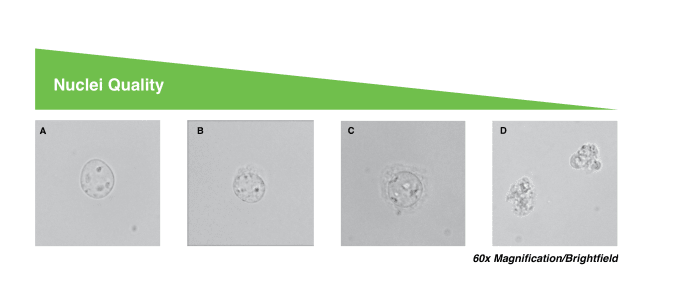 Four images showing degrees of nuclei quality. A: High-quality nuclei have well-resolved edges. Optimal quality for single cell ATAC libraries.  B: Mostly intact nuclei with minor evidence of blebbing. Quality single cell ATAC libraries can still be produced.  C: Nuclei with strong evidence of blebbing. Proceed at your own risk.  D: Nuclei are no longer intact. Do not proceed!