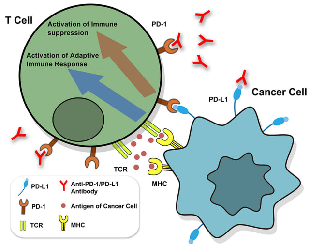Zhang JY, et al. PD-1/PD-L1 based combinational cancer therapy: Icing on the cake. Front Pharmacol 11: 722, 2020. doi: 10.3389/fphar.2020.00722