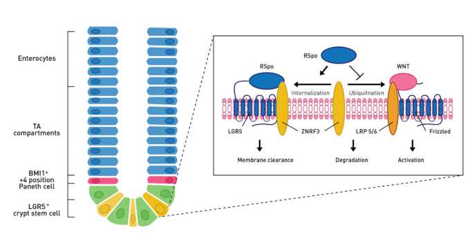 Diagram of intestinal stem cell crypt (green and yellow cells) and villus (blue cells).
