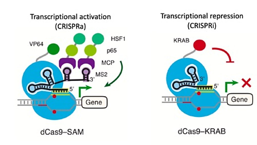 CRISPR activation (CRISPRa) and CRISPR interference (CRISPRi) overview. For CRISPRa (left) dCas9 is fused to a transcriptional activator (VP64). Adaptors fused to transcriptional activators can be combined to further enhance transcription, such as in the SAM method. An sgRNA programs dCas9 fusion to activate the transcription of the targeted promoter. For CRISPRi (right), dCas9 is fused to a transcription repressor (KRAB), which directs heterochromatin formation at the promoter targeted by the sgRNA, reducing target gene transcription. CREDIT: Modified from Lo & Qi et al., 2017 (CC BY 4.0) (2).