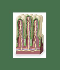 Gut Immune Function
