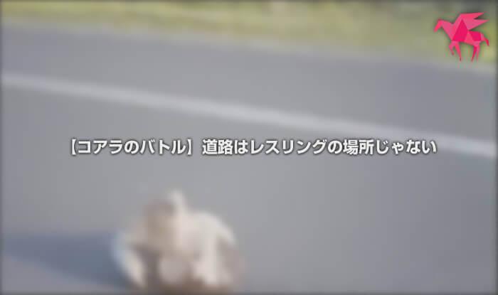 【コアラのバトル】道路はレスリングの場所じゃない