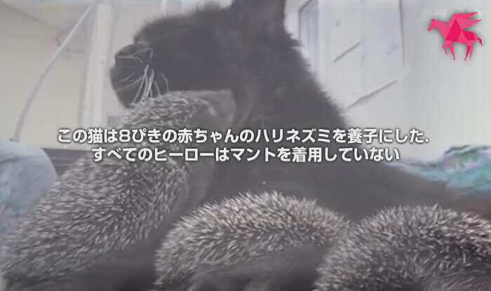この猫は8ぴきの赤ちゃんのハリネズミを養子にした. すべてのヒーローはマントを着用していない