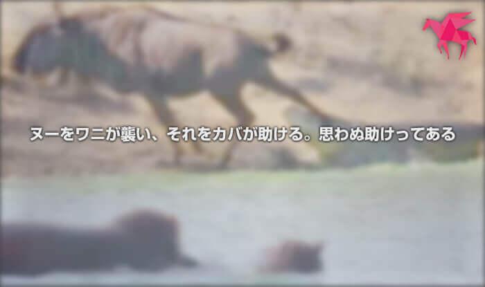 ヌーをワニが襲い、それをカバが助ける。思わぬ助けってある