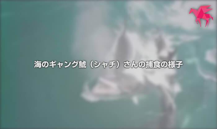 海のギャング鯱(シャチ)さんの捕食の様子