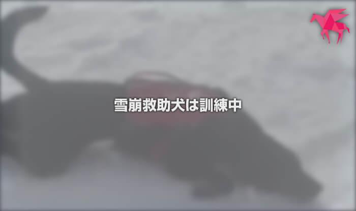 雪崩救助犬は訓練中