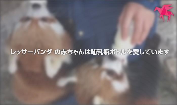 レッサーパンダ の赤ちゃんは哺乳瓶ボトルを愛しています