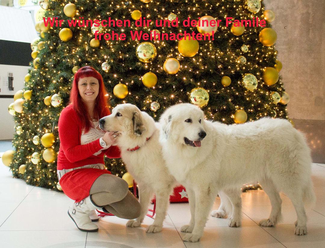 Fluffy Giant Schöne Weihnachten allen unseren Freunden  Die österreichische Pyrenäen Berghund Zuchtstätte