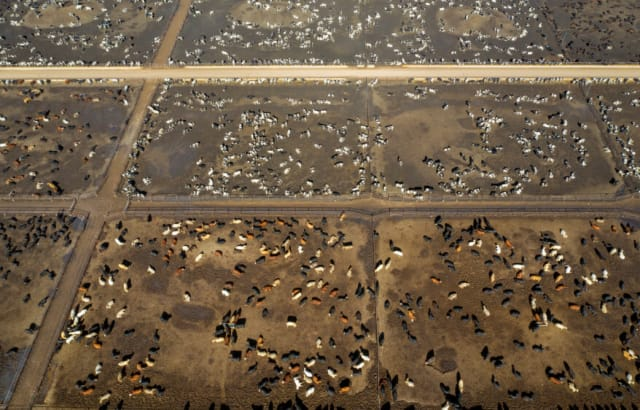 Picture of factory cow farming