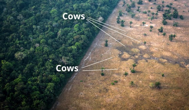 Picture of cows from above