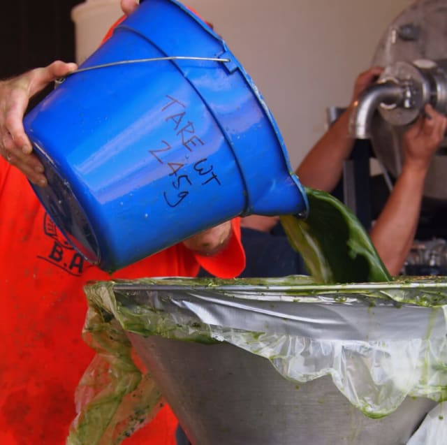Picture of workers pouring alfalfa into a metal bucket