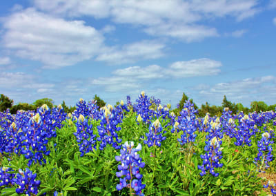 Texas bluebonnets are back! 10 wildflower hotspots