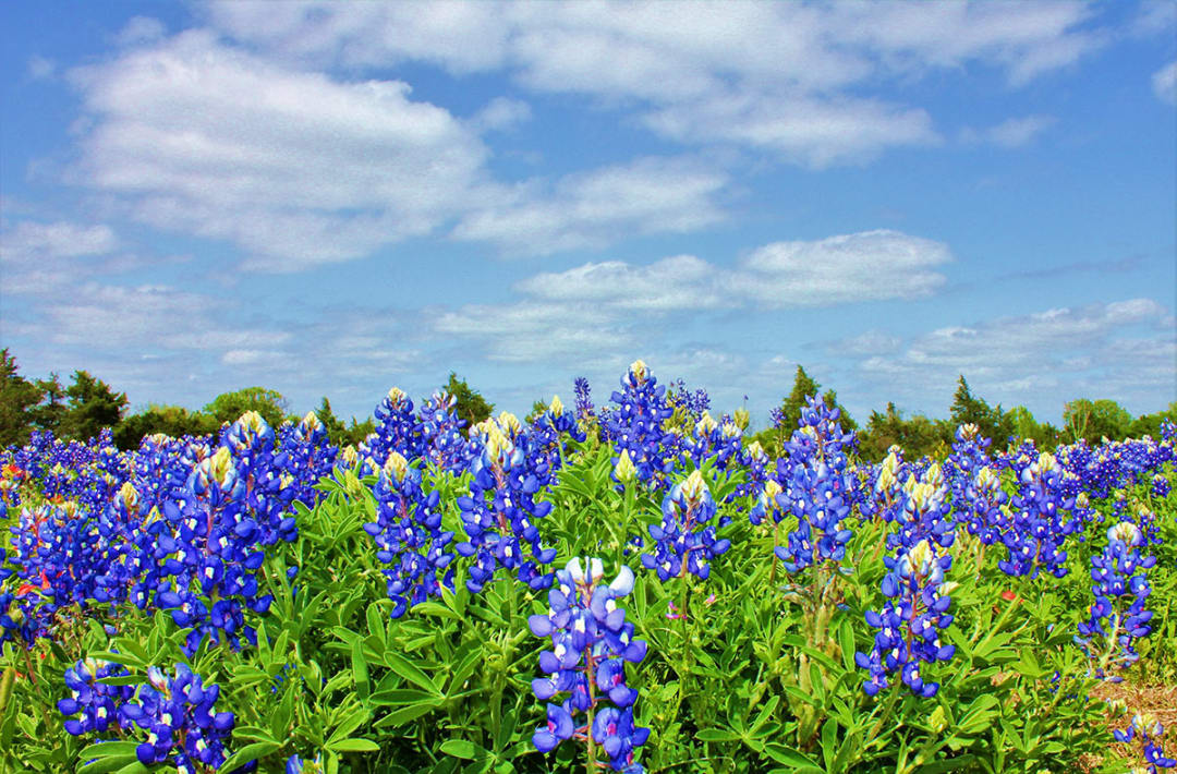 Texas bluebonnets are back! 10 wildflower hotspots
