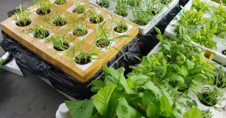 Hướng dẫn trồng rau thủy canh tĩnh tại nhà tiết kiệm chi phí