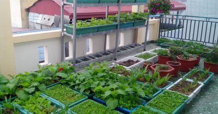 5 bước hướng dẫn trồng rau sân thượng tươi tốt ai cũng muốn có cho nhà mình