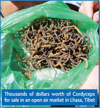 bag of cordyceps