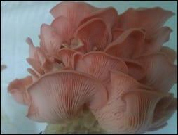 Pleurotus ostreatus VDE1