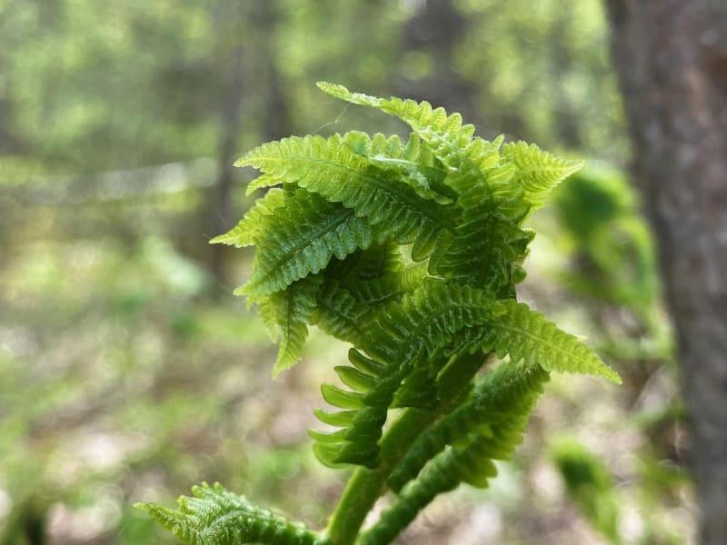 Ferns unfolding outside of Lake George, NY
