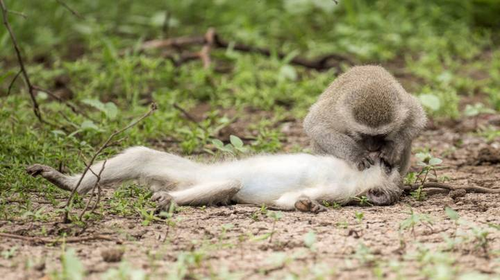 Monkey 'Gives Pal Mouth-To-Mouth' Like a Human After She 'Collapses To The Ground'